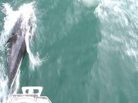 Visite des dauphins � Bord d'Anka