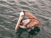 Pelican autour d'Anka